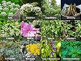 Mischung/Mix/Set'Heil-Kräuter' 10 x Samen verschiedene Heilkräuter / 100% Natursamen - handgepflückt (keine Chemie oder Wachstumshilfen)