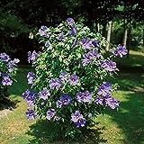 Dominik Blumen und Pflanzen, Hibiskus-Sträucher- Sortiment, je 1 Stauch blau, rot und weiß blühend