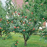 Dominik Blumen und Pflanzen, Apfel Gravensteiner Busch, 1 Pflanze