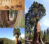 Mammutbaum / Riesenmammutbaum 25 SAMEN - Redwood - Winterhart