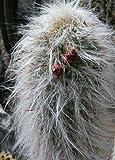 Tropica - Kakteen - Alter Mann der Anden (Oreocereus celsianus) - 40 Samen