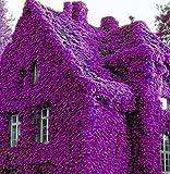 AIMADO GartenClematis Kletterpflanze, 1 Pflanze winterhart ClematisOnline Kletterpflanzen & Blumen