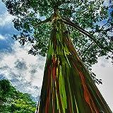 Qulista Samenhaus - 50pcs Selten Australien Regenbogen Eukalyptus Saatgut bunter Baumsamen winterhart mehrjährig