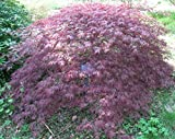 Fächerahorn 'Inaba- shidare' Acer palmatum 'Inaba-shidare', winterhart und mehrjährig