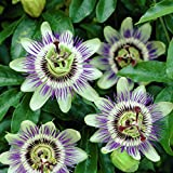 Passionsblume (Passiflora caerulea) - Kletterpflanze, Winterhart & Immergrün - 1,5 Liter Topf | ClematisOnline Kletterpflanzen & Blumen