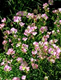 ADOLENB Garten Samen - Nachtkerzen samen Blumensamen Hausgarten Pflanzen Blumensamen