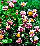 BALDUR-Garten Winterharter Bodendecker Afrikanisches Ringkörbchen, 3 Pflanzen Anacyclus depressus