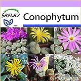 SAFLAX - Sukkulenten - Blühende Steine / Conophytum Mix - 40 Samen - Conophytum Mix