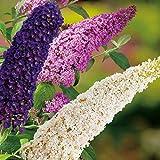 Drei-Farben-Sommerflieder 'Tricolor' (Buddleja Davidii) - Drei Farben Flieder in einem Topf von Garten Schlüter