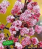 BALDUR-Garten Duft-Schneeball 'Dawn' Viburnum bodnantense Winterschneeball 1 Pflanze