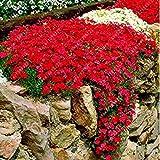 Tomasa Samenhaus- 100 Stück Felsenkresse Kletterpflanze Samen,Bodendecker-Blume Garten-Dekoration Mehrjährige Blumensamen winterhart Zierpflanzen