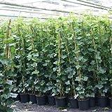 6 Efeu 140-175 cm (Hedera Hibernica): 6 kaufen/ 4 bezahlen - 6 immergrüne Kletterpflanzen für eine 1 Meter Sichtschutz Hecke | ClematisOnline Kletterpflanzen & Blumen