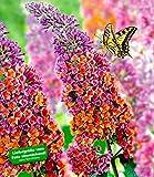 BALDUR-Garten Buddleia Sommerflieder 'Flower-Power', 1 Pflanze, Buddleja Hybride