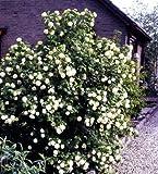 Gefüllter Schneeball weiß blühend. 1 Strauch XL - zu dem Artikel bekommen Sie gratis ein Paar Handschuhe für die Gartenarbeit dazu