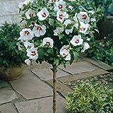 Dominik Blumen und Pflanzen, Hibiskus 'Red Heart' zum Stämmchen gezogen rot-weiß blühend, 1 Pflanze,  5 - 20 cm Krone, ca. 80 cm hoch,  2-3  Liter Container, plus 1 Paar Handschuhe gratis