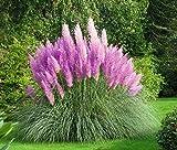 PAMPASGRAS - ca.150 Samen - Cortaderia selloana - Ziergras - der absolute Blickfang in jedem Garten