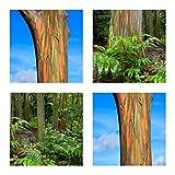 Regenbogenbaum - Eucalyptus deglupta (Bonsai geeignet)- 50 Samen -