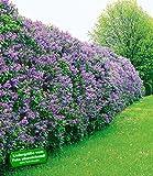 Flieder-Hecke,6 Pflanzen