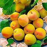 Qulista Samenhaus - Rarität Bio Sonnen-Mirabelle Bellamira leckere goldgelbe Früchte 10pcs | Garten Obstsamen Obstbaum Baumsamen Winterhart mehrjährig