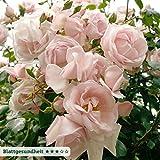 Kölle's Beste Kletterrose 'New Dawn' - zart rosafarben blühende, duftende Topfrose im 6 L Topf - frisch aus der Gärtnerei - Pflanzen-Kölle Gartenrose