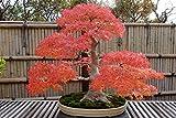 Japanischer roter Ahorn/Fächerahorn/Acer palmatum atropurpureum/ca. 50 Samen/Baum- und Bonsai geeignet
