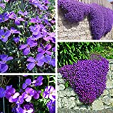 100pcs purpurrote Blume Aubrieta Hybrida Seeds Garten Stauden Bodendecker