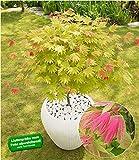 BALDUR-Garten Ahorn'Moonrise' Acer shirasawanum, 1 Pflanze Ahornbaum winterhart