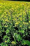 Portal Cool 1000: 250/1500 Senfsamen White Entfernt Unkraut Gelbe Blumen