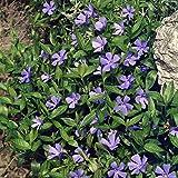 Dominik Blumen und Pflanzen, Kleinblättriges  Immergrün, Vinca minor, Bodendecker, blüht lilablau, 2x5 Pflanzen im P 0,5 Liter-Topf