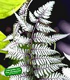 BALDUR-Garten Winterharter Schmuck-Farn 'Silver Falls', 1 Pflanze Athyrium