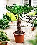 Chinesische Hanfpalme-Lieferhöhe ca. 80 cm, Ø 21 cm Topf.-Gartenpflanzen