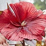 lichtnelke - Riesen-Hibiskus (Hibiscus moscheutos) Carousel Geant Red