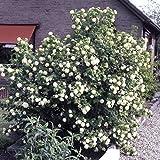 Dominik Blumen und Pflanzen Gefüllter Schneeball, Viburnum opulus Roseum weiß blühend, 1 Strauch, 30-40 cm hoch, 3 Liter Container, plus 1 Paar Handschuhe gratis