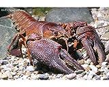 Krebse Teich Edelkrebs - Astacus astacus - 1 Pärchen - Die Gesundheitspolizei im Gartenteich