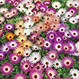 Qulista Samenhaus - Raritäten Mittagsblume 'Mischung' Bodendecker Blumensamen Rabattenstolz winterhart mehrjährig, ideal für Einfassungen, Rabatten, Steingärten