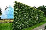 Hainbuche Hainbuchenhecke Wurzelware 120-150 cm hoch 10 Stück im Rabatt-Paket - Carpinus betulus floranza