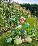 Keland Garten - 20pcs Rarität Bio Kohlrabi 'Superschmelz' schnellwüchsig Riesen Kohlrabi Gemüsesamen Saatgut Garten winterhart mehrjährig ideal als Treib- und Freilandsorte