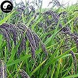PLAT FIRM KEIM SEEDS: 150pcs: Kaufen Grüne Duftreis Samen Pflanze Korn Oryza Sativa für Nahrung Paddy