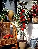 Dominik Blumen und Pflanzen, Säulenapfel, Apfelbaum 'Rotbäckchen' (auch 'McIntosh'), 1 Pflanze, ca. 60 - 80 cm Stamm, 5 - 7 Liter Container , plus 1 Paar Handschuhe gratis