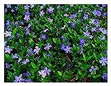 10 x Vinca minor (Blau) Kleines Immergrün (Bodendecker) ab 1,19 € pro Stück