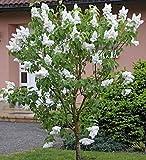Fiederblättriger Flieder 30-40cm - Syringa pinnatifolia