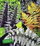BALDUR-Garten Winterharte Japanische Schmuck-Farn-Kollektion, 3 Pflanzen Dryopteris, Athyrium