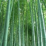 Riesenbambus (Moso Bambus) / 50 Samen / winterhart / wächst 10 Meter in Rekordgeschwindigkeit / Ideal als Sichtschutz & Windschutz