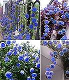 Exotische Blumensamen Himmel blau Blumengarten Kletterrose Pflanze Ziergarten Bonsai Topf Planta Leicht 200pcs wachsen / bag