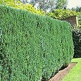 Scheinzypressen Hecke - 10 heckenpflanzen