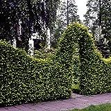 Dominik Blumen und Pflanzen, Hainbuchen-Hecke, Carpinus betulus, 5 Pflanzen, ca. 50 cm hoch, für 1 - 1,5 Meter Hecke, winterhart, plus 1 Paar Handschuhe gratis