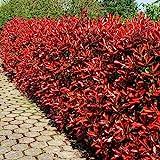 Glanzmispel Red Robin P9-5 heckenpflanzen