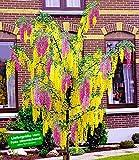 BALDUR-Garten Chimären-Goldregen, 1 Pflanze Laburnocytisus adamii