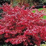 Feuerbusch Euonymus - 1 strauch
