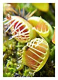 Venus-Fliegenfalle' Funnel Trap' - Trichterfalle / 10 Samen/inkl.Karnivorenerde (Dionaea muscipula)
